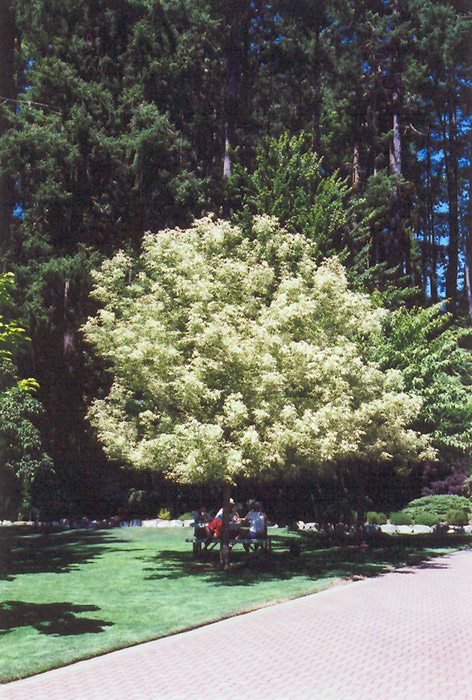 Flamingo Boxelder Acer Negundo At Squak Mountain Nursery