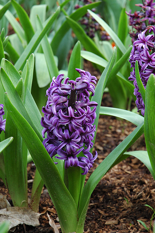 Atlantic Hyacinth (Hyacinthus Orientalis U0027Atlanticu0027) At Squak Mountain  Nursery