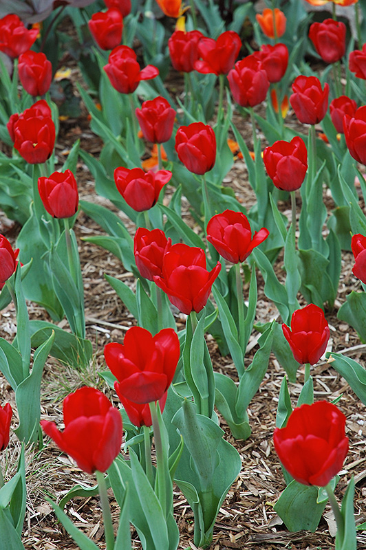 Yellow Perennial Flowers Ground Cover: Red Present Tulip (Tulipa 'Red Present') In Issaquah