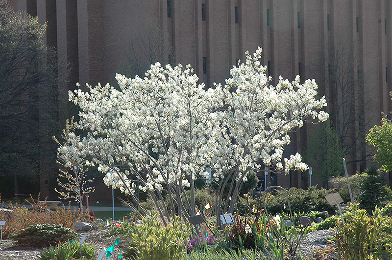 Autumn Brilliance Serviceberry Amelanchier X Grandiflora At Squak Mountain Nursery