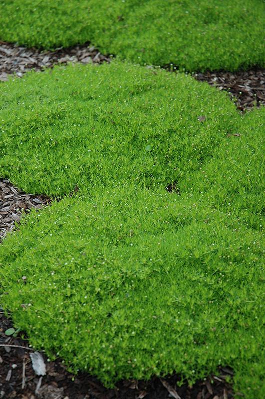 Irish Moss Sagina Subulata In Issaquah Seattle Bellevue Redmond Renton Sammamish Washington Wa