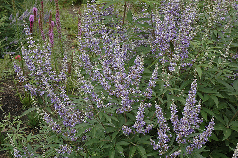 Chaste Tree Vitex Agnus Castus At Squak Mountain Nursery