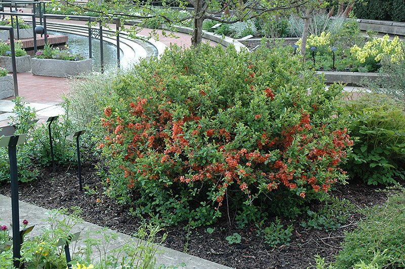 Japanese flowering quince chaenomeles japonica in for Japanese garden flowering plants