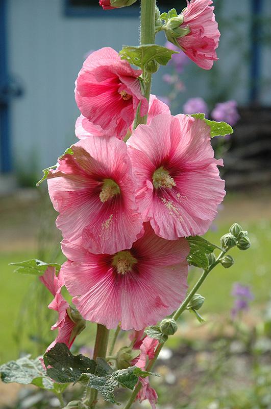 Pink hollyhock alcea rosea 39 pink 39 in issaquah seattle for Alcea rosea