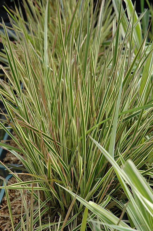 northern lights tufted hair grass  deschampsia cespitosa