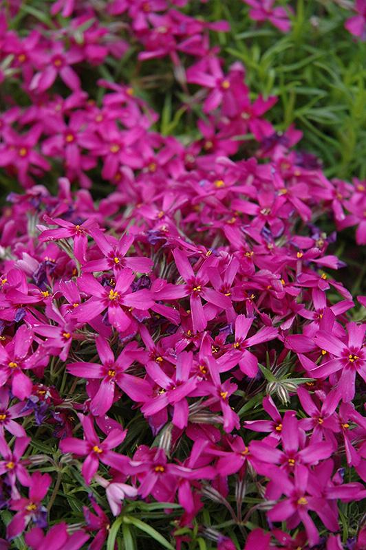 Purple Moss Phlox Subulata Atropurpurea At Squak Mountain Nursery