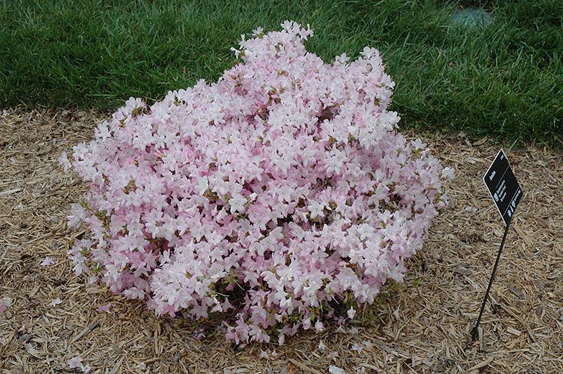 Mt Washington Height >> Bubble Gum Rhododendron (Rhododendron 'Bubble Gum') in Issaquah Seattle Bellevue Redmond Renton ...