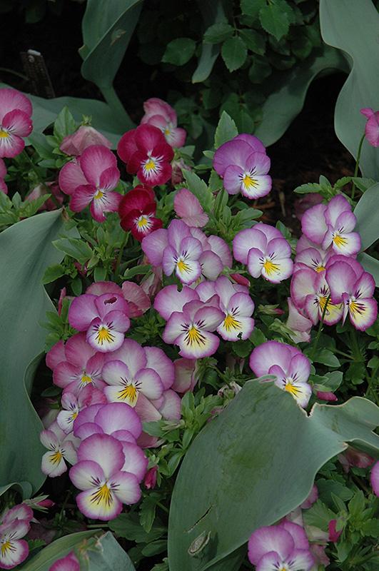 Ultima radiance pink pansy viola ultima radiance pink in ultima radiance pink pansy viola ultima radiance pink at squak mountain nursery mightylinksfo