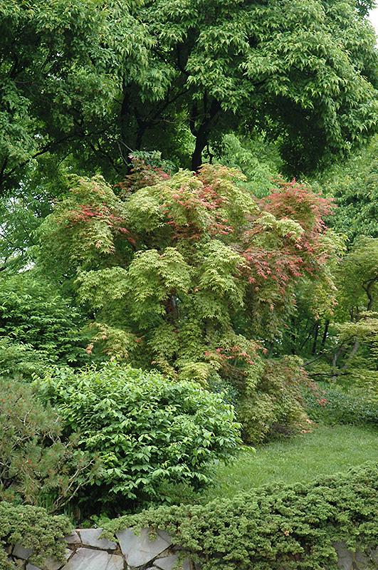 Shindeshojo Anese Maple Acer Palmatum In