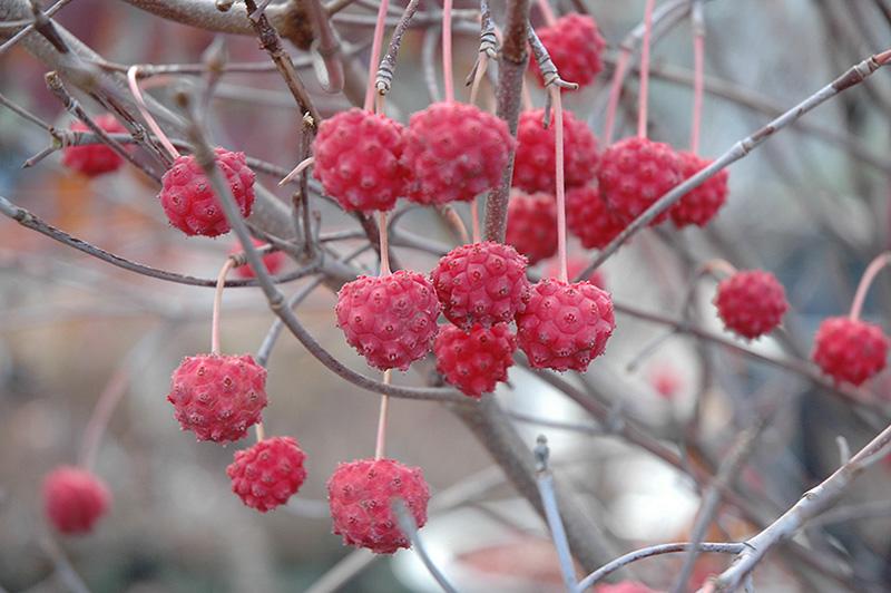 kousa dogwood fruit fruit basket delivery