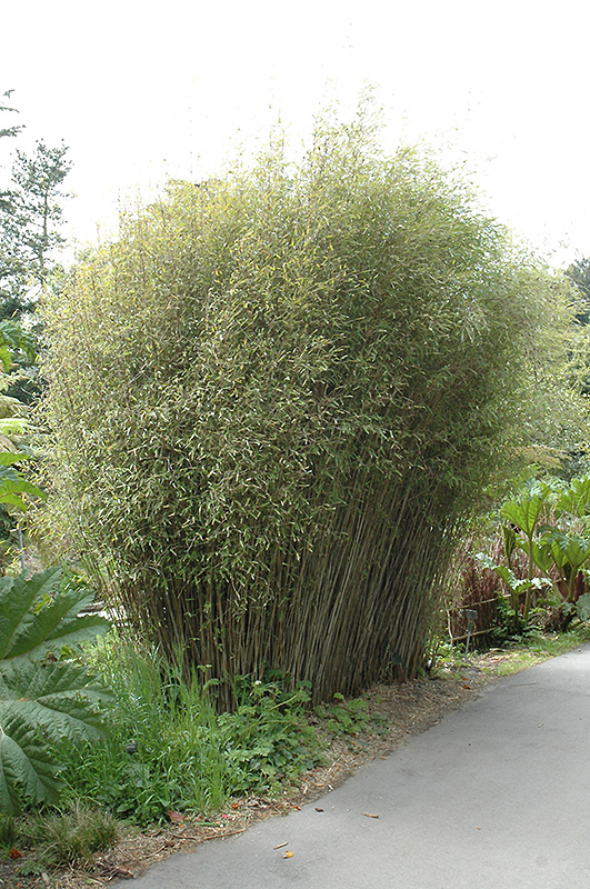 Blue Fountain Bamboo (Fargesia nitida) in Issaquah Seattle ...
