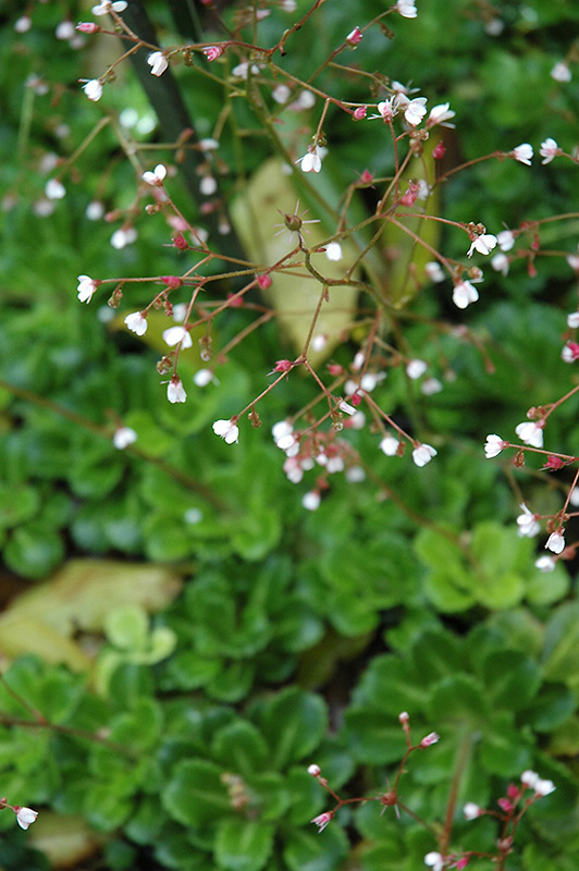 London Pride Saxifraga Umbrosa At Squak Mountain Nursery