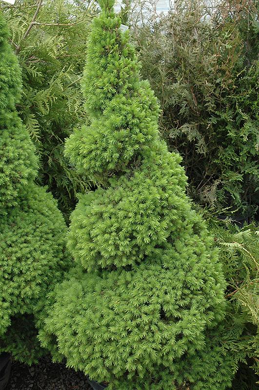 Dwarf Alberta Spruce Picea Glauca Conica Spiral In