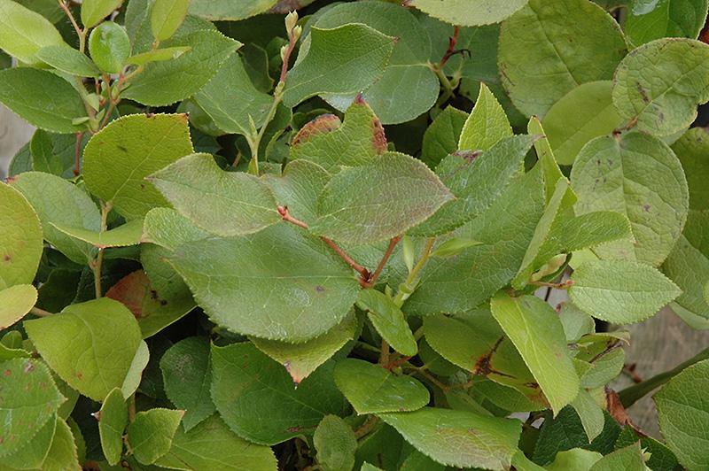 Salal (Gaultheria shal...