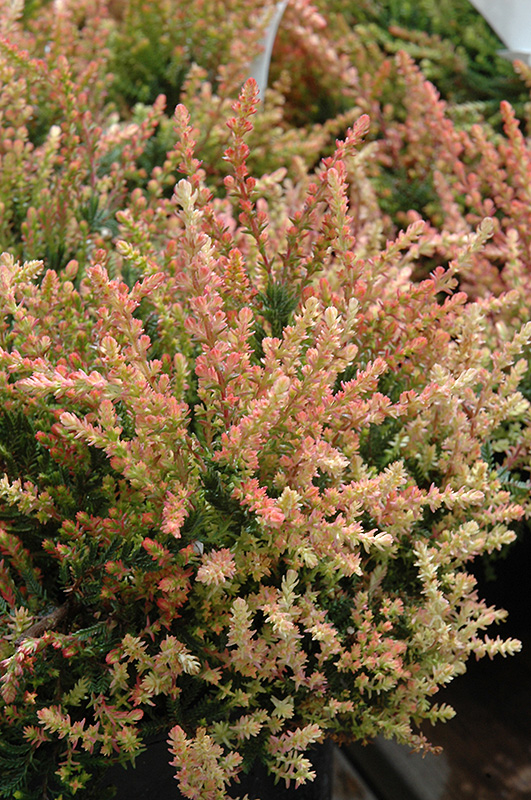 Spring Torch Heather Calluna Vulgaris Spring Torch In Issaquah