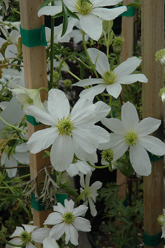 early sensation clematis clematis cartmanii 39 early. Black Bedroom Furniture Sets. Home Design Ideas