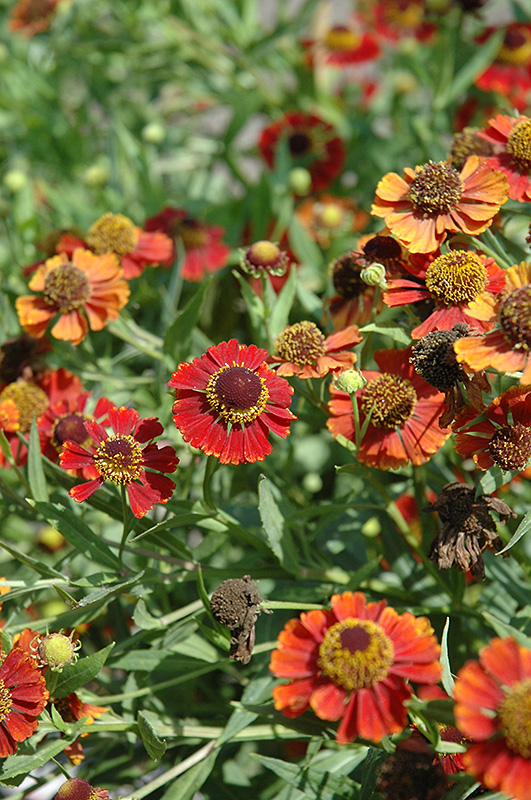Rubinzwerg Sneezeweed Helenium At Squak Mountain Nursery
