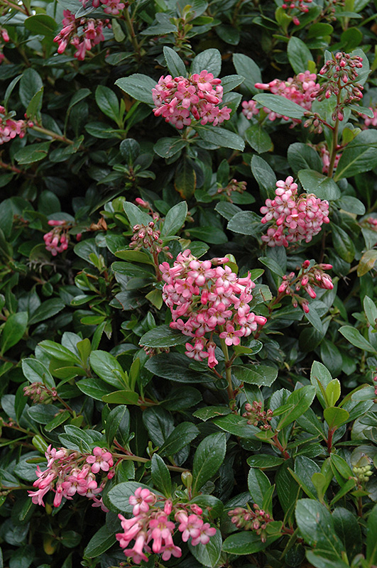 Red Escallonia Rubra Var Macrantha At Squak Mountain Nursery