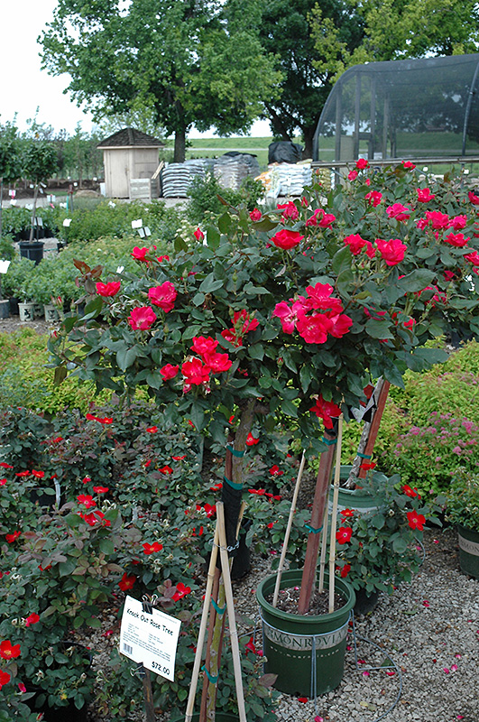 Knock Out Rose Tree Rosa Form At