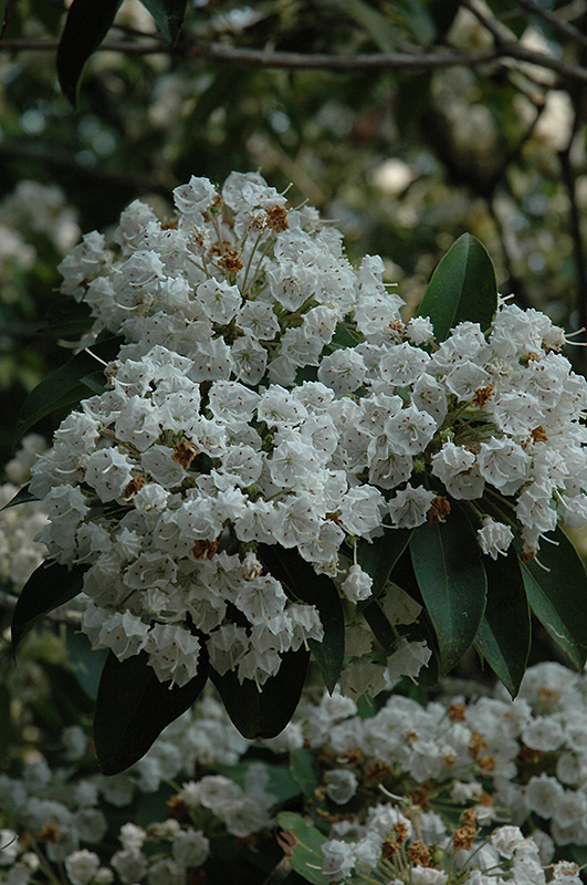Mountain Laurel Kalmia Latifolia At Squak Nursery