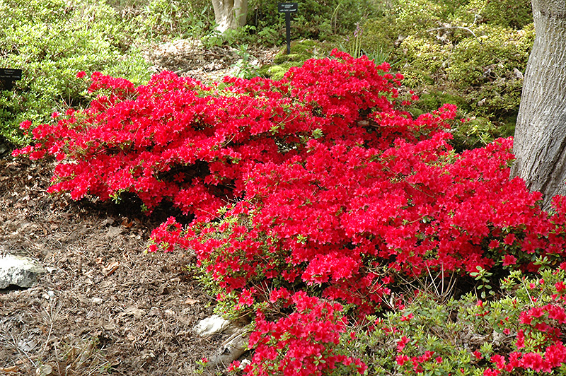 Hino Crimson Azalea Rhododendron At Squak Mountain Nursery