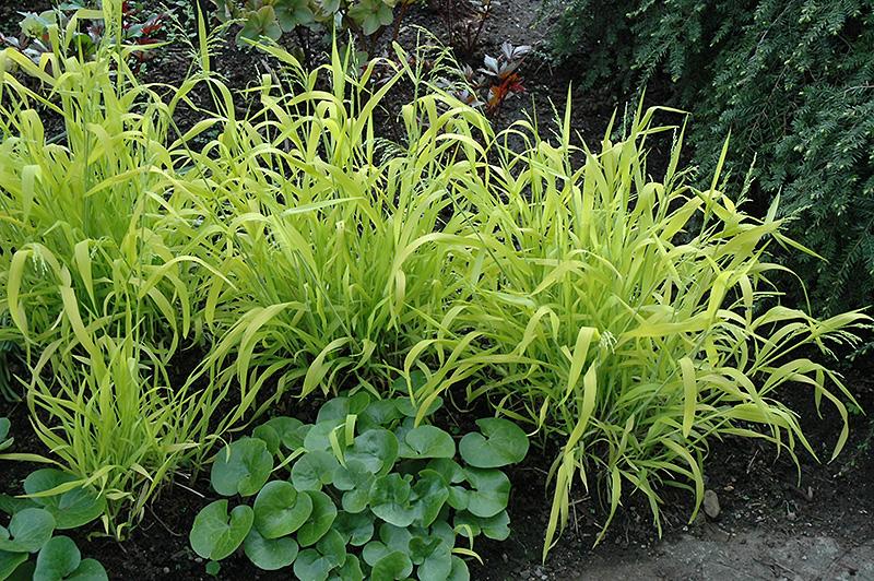 Golden Wood Millet Milium Effusum Aureum In Issaquah