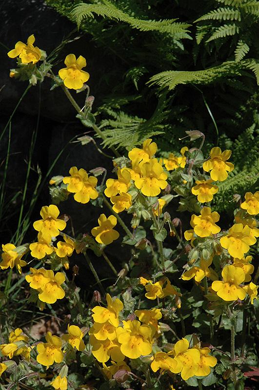 Yellow monkey flower mimulus guttatus in issaquah seattle bellevue yellow monkey flower mimulus guttatus at squak mountain nursery mightylinksfo