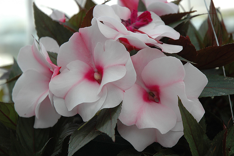 Paradise White Blush New Guinea Impatiens Impatiens Hawkeri