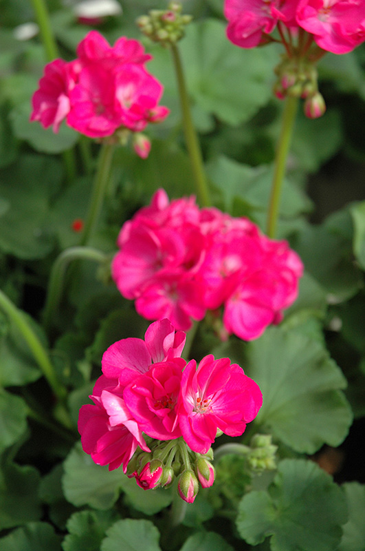 Patriot Rose Pink Geranium Pelargonium Patriot Rose Pink