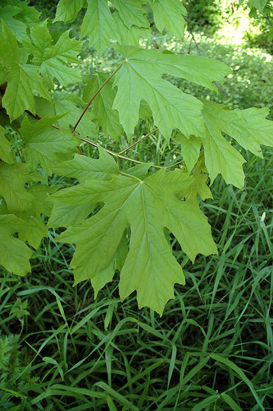 Big Leaf Maple Acer Macrophyllum In Issaquah Seattle