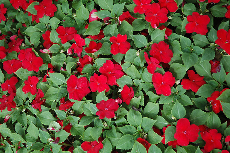 F769-22 Houseplants Red Colored on peppers red, berries red, pots red, mums red, orchids red, flowers red, cactus red, ornamental grasses red, design red, nature red, animals red,