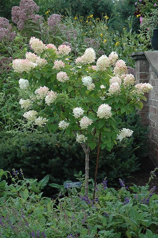 Limelight Hydrangea Tree Form Paniculata