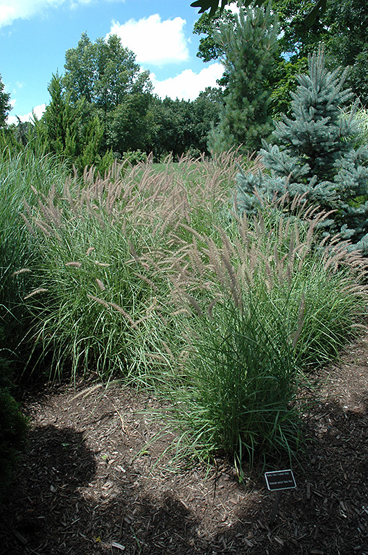 karley rose oriental fountain grass pennisetum orientale 39 karley rose 39 in issaquah seattle. Black Bedroom Furniture Sets. Home Design Ideas