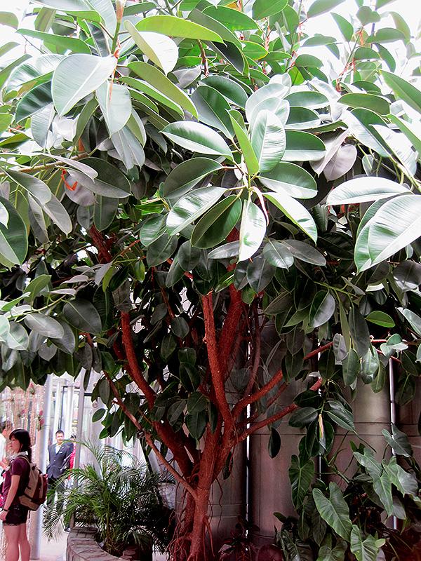 Rubber Tree (Ficus elastica) in Issaquah Seattle Bellevue ...  Rubber Tree (Fi...