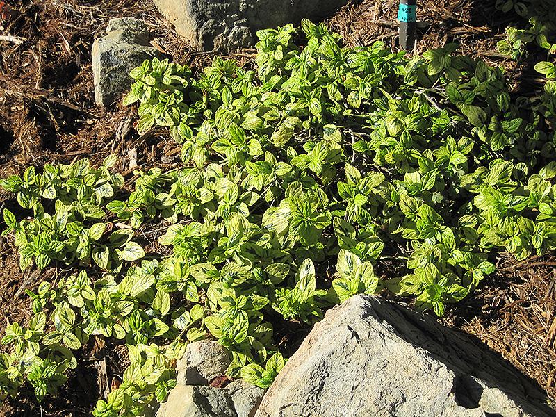 Diamond Heights California Lilac
