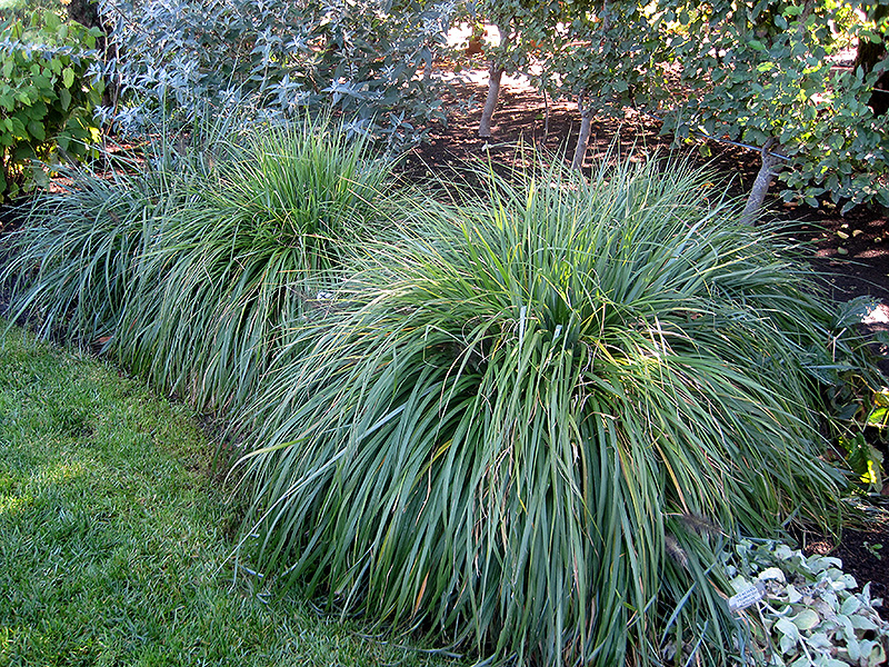Moudry fountain grass pennisetum alopecuroides 39 moudry for Fountain grass