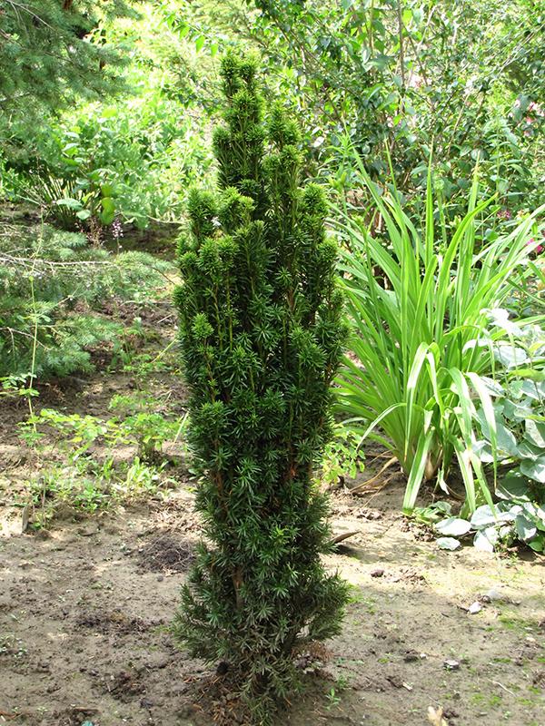 Golden Irish Yew Taxus Baccata Fastigiata Aurea At Squak Mountain Nursery