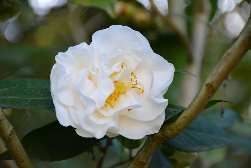Swan Lake Camellia Onica