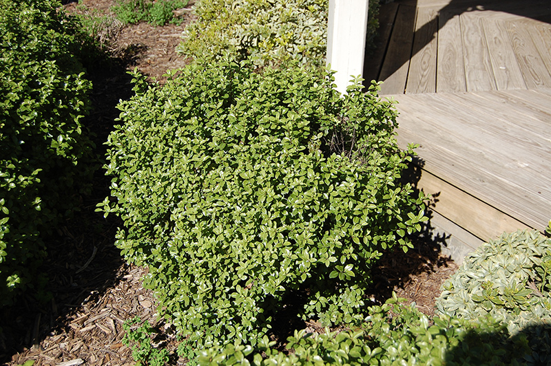 Golf Ball Kohuhu Pittosporum Tenuifolium At Squak Mountain Nursery
