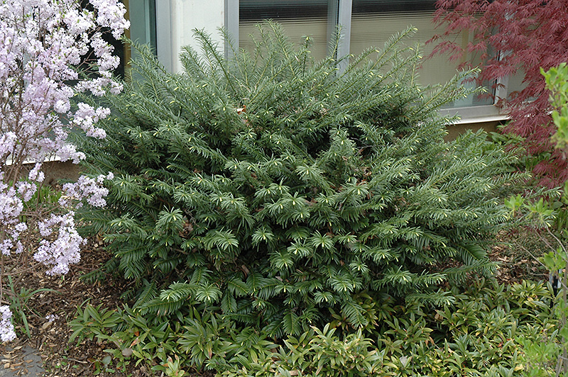 Duke Gardens Plum Yew (Cephalotaxus harringtonia 'Duke ...