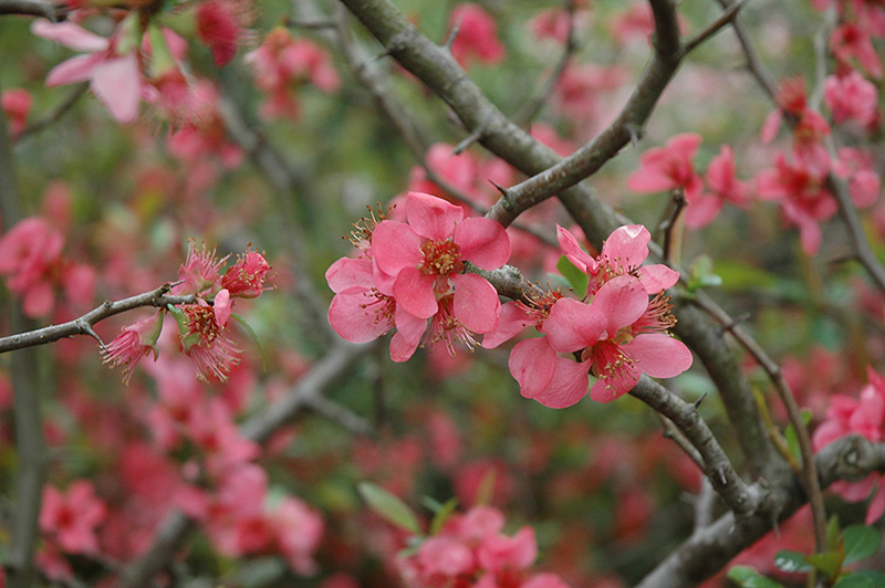Pink lady flowering quince chaenomeles x superba pink lady in pink lady flowering quince chaenomeles x superba pink lady at squak mountain mightylinksfo