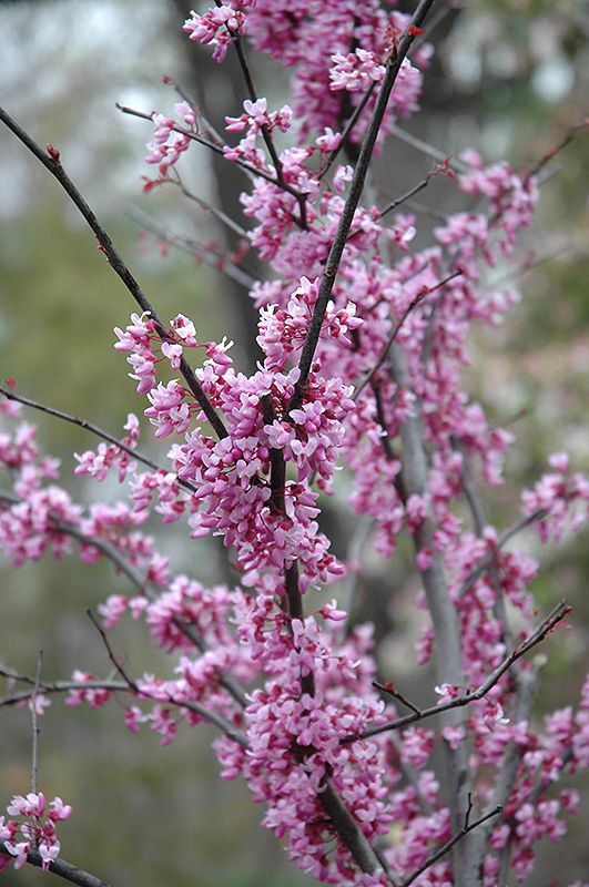 Forest Redbud Cercis Canadensis At Squak Mountain Nursery