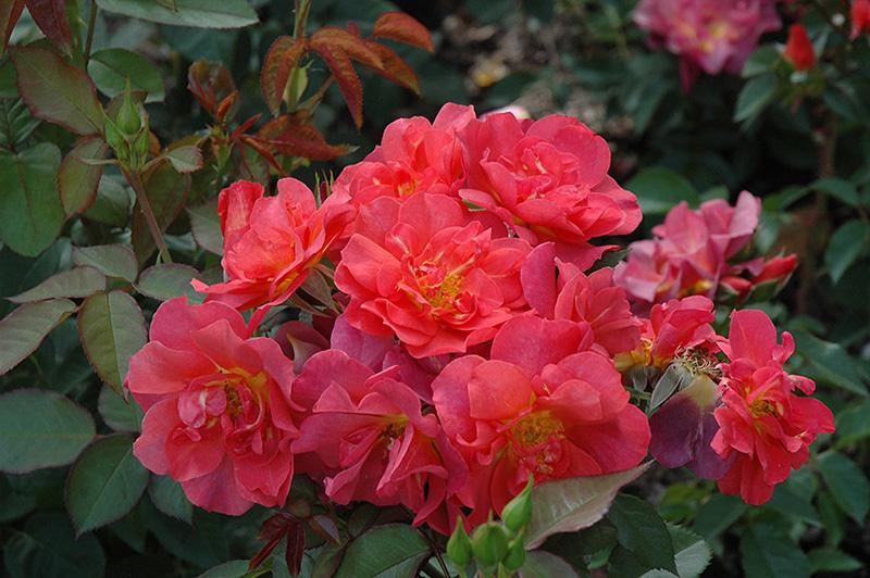 Cinco De Mayo Rose Rosa Cinco De Mayo In Issaquah