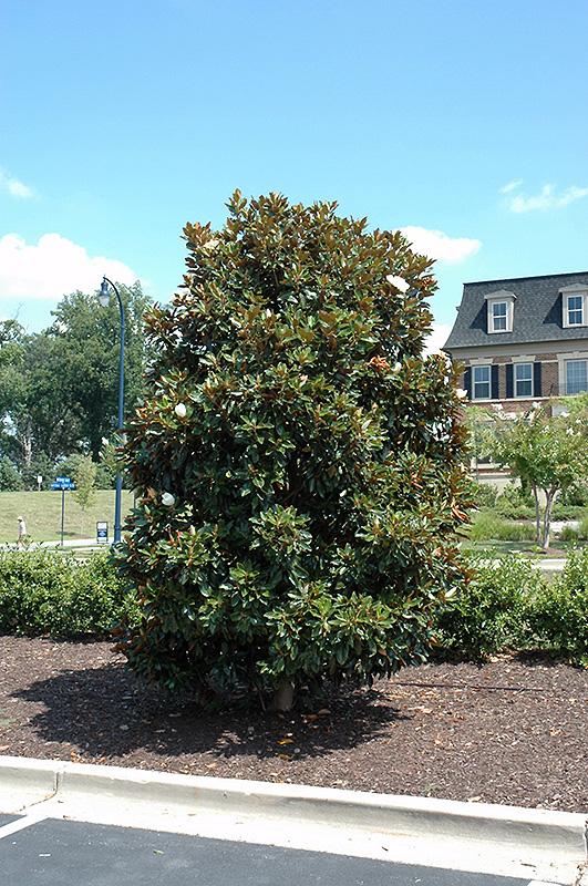 Little Gem Magnolia Grandiflora At Squak Mountain Nursery
