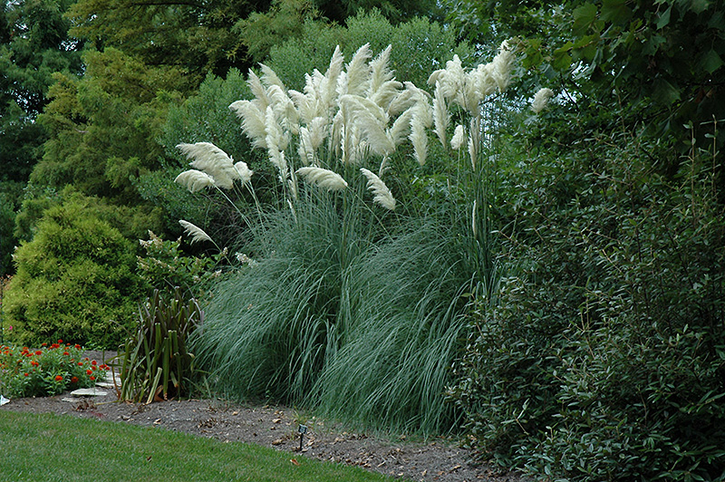 Pampas Grass Cortaderia Selloana In Issaquah Seattle