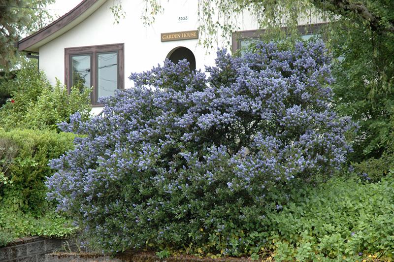 Victoria california lilac ceanothus thyrsiflorus for Gardening tools victoria bc