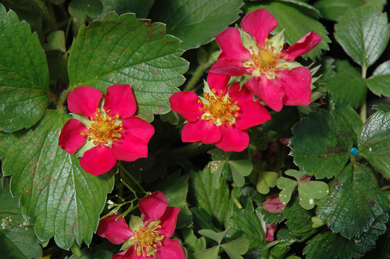 Beach Strawberry Fragaria Chiloensis In Issaquah Seattle