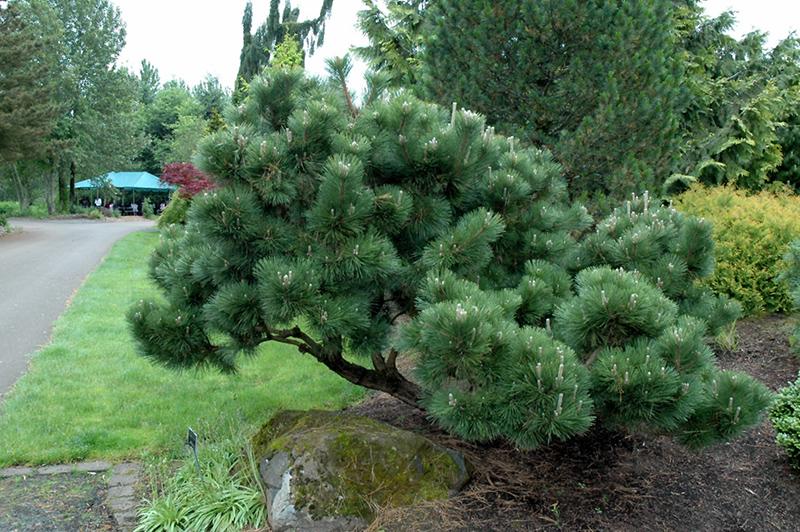 Thunderhead Japanese Black Pine Pinus Thunbergii