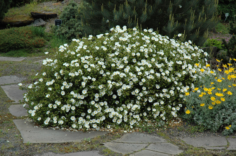 White Rockrose Cistus Ladanifer Var Albiflorus At Squak Mountain Nursery