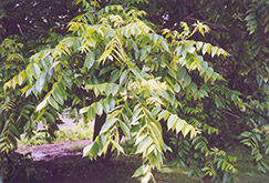 Butternut (Juglans cinerea) at Squak Mountain Nursery